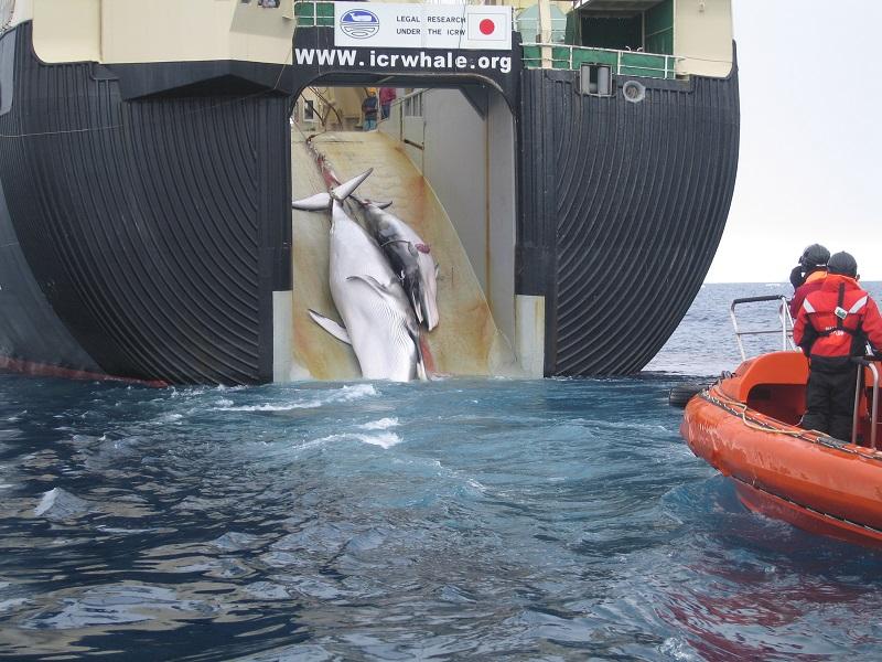 Die Jagd auf Wale