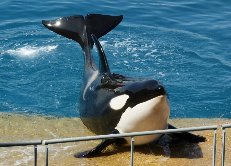 Junger Schwertwal