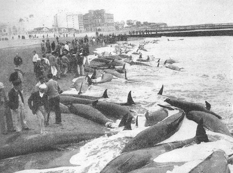 Massenstrandung Kleiner Schwertwale