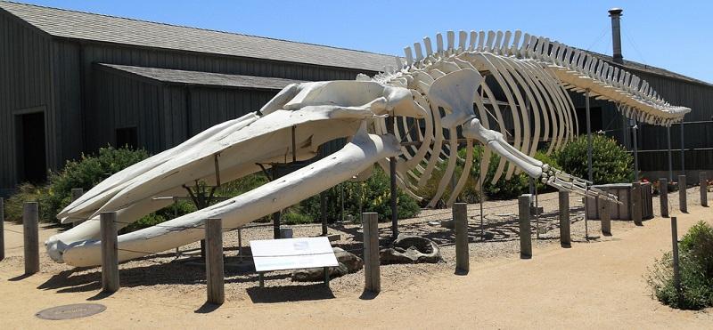 Skelett eines Blauwals