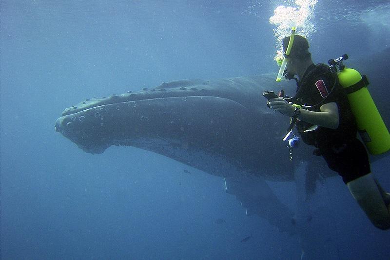 Tauchen mit Buckelwalen